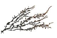 egg wrack<br /> Ascophyllum nodosum