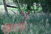 Odocoileus hemionus (Mule Deer) at Basalt, Pitkin Co, CO, USA, on 29-Jul-17