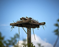 Osprey Nest Platform with pair of Osprey along A. Max Brewster Memorial Highway. Merritt Island National Wildlife Refuge. Image taken with a Nikon D3s camera and 80-400 mm VR len (ISO 200, 380 mm, f/5.6, 1/1600 sec).