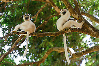 A pair of Verreaux's sifaka in a tree, Nahampoana Reserve, Fort Dauphin, Madagascar.