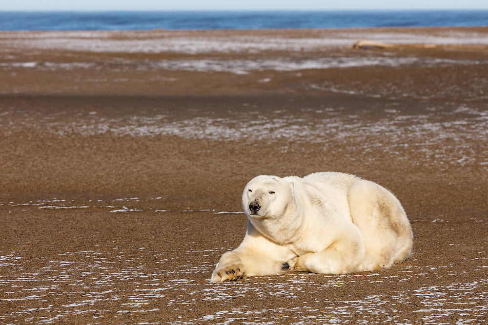 Polar bear (Ursus maritimus) resting on Barter Island near Kaktovik in the Arctic National Wildlife Refuge in the Far North of Alaska. Autumn. Morning.
