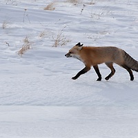 Red fox hunting in the wind. Gallatin valley, near Daly creek.