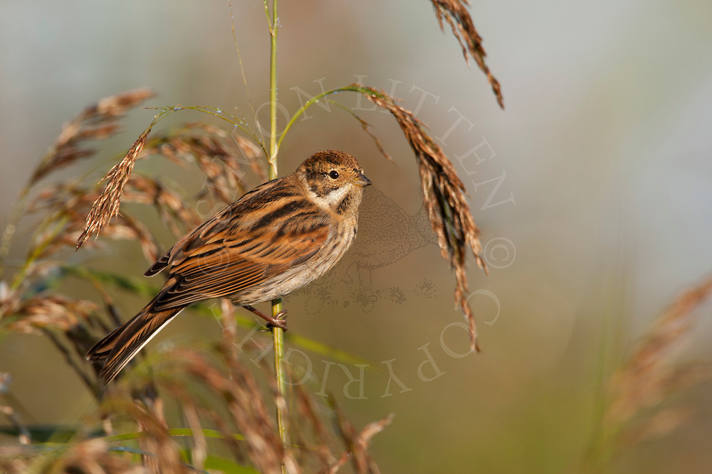Reed Bunting (Emberiza schoeniclus) adult male, winter plumage, perched on reed, Norfolk, UK.