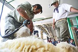 Tosquia da ovelha Ideal na 38ª Expointer, que ocorrerá entre 29 de agosto e 06 de setembro de 2015 no Parque de Exposições Assis Brasil, em Esteio. FOTO:Pedro H. Tesch/ Agência Preview