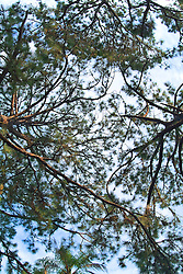pine tree tops in Florida looking up to sky Sky and clouds
