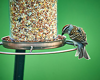 Chipping Sparrow at the Bird Feeder. Image taken with a Nikon D4 camera and 600 mm f/4 VR telephoto lens