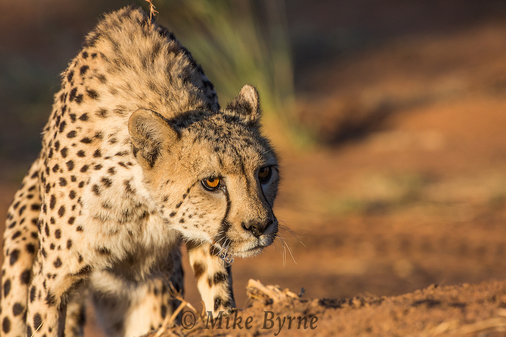 Cheetah at Okonjima, Namibia.