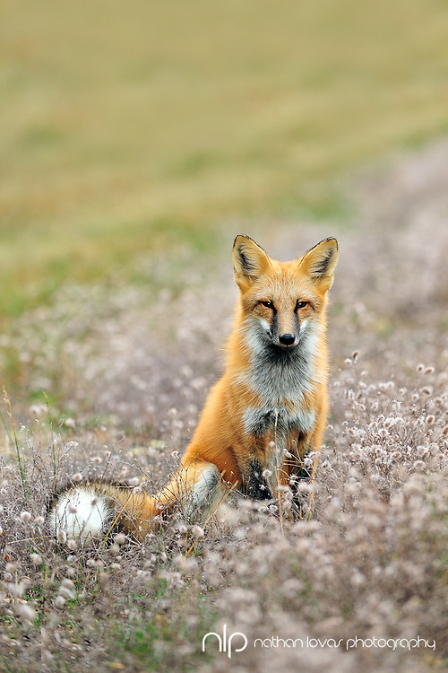 Red Fox (Vulpes vules) sitting in Grass;  Grand Portage, MInnesota, in wild.
