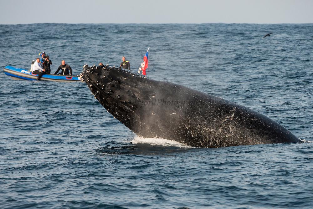 Humpback Whale (Megaptera novaeangliae)<br /> Sardine run,<br /> Eastern Cape<br /> SOUTH AFRICA
