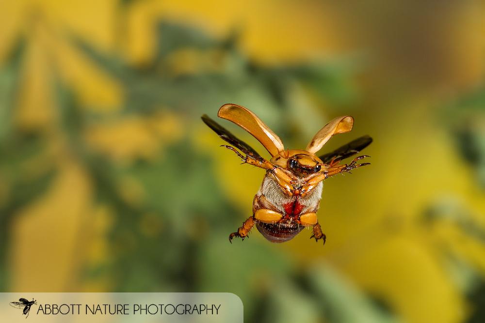 Grapevine Beetle or Six-spotted June Beetle (Pelidnota punctata) flying<br /> ALABAMA: Tuscaloosa Co.<br /> Tulip Tree Springs off Echola Rd.; Elrod<br /> 7-June-2016<br /> J.C. Abbott #2827 &amp; K.K. Abbott