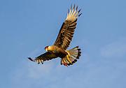 Southern Crested Caracara, Brazil; Caracara plancus; Mato Grosso; Pantanal; Rio Piquiri; flight, flying