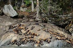 Among the concerns related to the proposed Juneau Access Improvements Project is the Steller sea lion haulout at Gran Point (pictured). The haulout at Gran Point is a designated Steller sea lion Critical Habitat Area. According to the Alaska Department of Transportation's 2014 Juneau Access Improvements Project: Draft Supplementary Environmental Impact Statement, more than one hundred Steller sea lions (Eumetopias jubatus) have been counted at the haulout during the spring and fall. As currently proposed the proposed highway would be built just uphill from the haulout area, approximately 100 to 600 feet horizontally and 50 to 100 feet vertically.<br /> <br /> Highway plans near the haulout includes blasting steep rock-cut embankments and several tunnels with one tunnel entrance only 550 feet away from the haulout. There is concern for haulout abandonment by the sea lions during highway construction as studies have shown Steller sea lions are very sensitive to noise, both in and out of water. Because Steller sea lions frequent Gran Point nearly year round, the use of explosives and helicopters will be challenging during construction.<br /> <br /> There are two distinct populations of Steller sea lions in Alaska. The majority of Stellar sea lions that frequent the Lynn Canal are part of the eastern population of Steller sea lions which are not listed as endangered under the Endangered Species Act; unlike the western population of Steller sea lions which are listed as endangered. That said however, there have been confirmed sightings of the western population Steller sea lions at Gran Point.<br /> <br /> The Juneau Access Improvements Project is a proposed $570-million highway project to extend Glacier Highway out of Juneau for closer road access to the southeast Alaska towns of Haines and Skagway. Juneau's roads do not connect with the continental road network. Travelers either have to fly between Juneau, Haines and Skagway, or travel on one of the ferries of the Alaska Marine Highway System.
