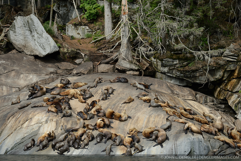 Among the concerns related to the proposed Juneau Access Improvements Project is the Steller sea lion haulout at Gran Point (pictured). The haulout at Gran Point is a designated Steller sea lion Critical Habitat Area. According to the Alaska Department of Transportation&rsquo;s 2014 Juneau Access Improvements Project: Draft Supplementary Environmental Impact Statement, more than one hundred Steller sea lions (Eumetopias jubatus) have been counted at the haulout during the spring and fall. As currently proposed the proposed highway would be built just uphill from the haulout area, approximately 100 to 600 feet horizontally and 50 to 100 feet vertically.<br /> <br /> Highway plans near the haulout includes blasting steep rock-cut embankments and several tunnels with one tunnel entrance only 550 feet away from the haulout. There is concern for haulout abandonment by the sea lions during highway construction as studies have shown Steller sea lions are very sensitive to noise, both in and out of water. Because Steller sea lions frequent Gran Point nearly year round, the use of explosives and helicopters will be challenging during construction.<br /> <br /> There are two distinct populations of Steller sea lions in Alaska. The majority of Stellar sea lions that frequent the Lynn Canal are part of the eastern population of Steller sea lions which are not listed as endangered under the Endangered Species Act; unlike the western population of Steller sea lions which are listed as endangered. That said however, there have been confirmed sightings of the western population Steller sea lions at Gran Point.<br /> <br /> The Juneau Access Improvements Project is a proposed $570-million highway project to extend Glacier Highway out of Juneau for closer road access to the southeast Alaska towns of Haines and Skagway. Juneau&rsquo;s roads do not connect with the continental road network. Travelers either have to fly between Juneau, Haines and Skagway, or travel on one of the ferries