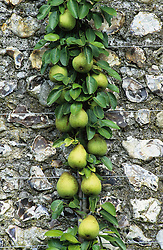 Pears on wall