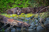Mama Grizzly and Cubs napping along the estuary