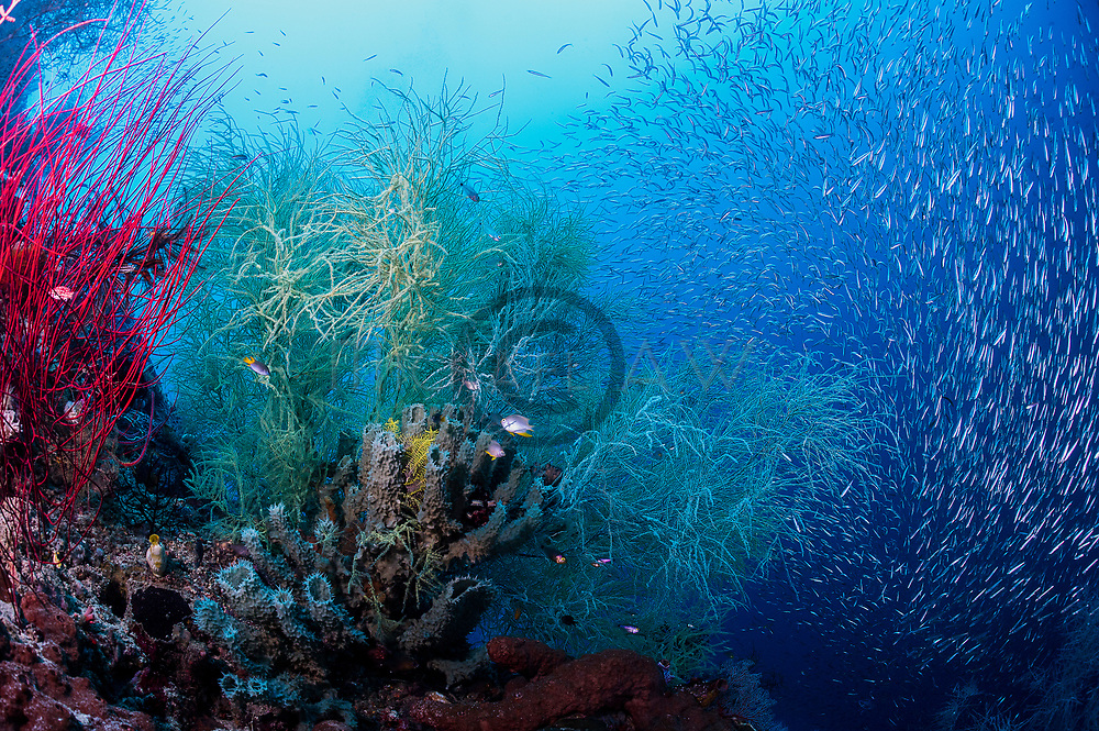 reefs; Raja Ampat; soft corals; sea fans; whips, Black corals (Antipatharia)