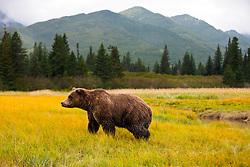 North American brown bear / coastal grizzly bear (Ursus arctos horribilis) sow walks in a field, Lake Clark National Park, Alaska, United States of America