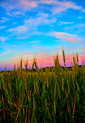 Sunset sky colors behind a field of wheat crop on a farm off of Hopewell Rd. in New Melle Missouri