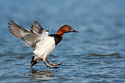 Canvasback, male, Aythya valisineria, Chesapeake Bay, Maryland