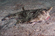 shortnose batfish or rosy-lipped batfish, Ogcocephalus nasutus, Spanish Bay, near Belize City, Belize, Central America ( Caribbean Sea )