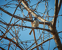 Two Tufted Titmouse. Image taken with a Nikon D3x camera and 80-400 mm VR lens (ISO 400, 400 mm, f/8, 1/1000 sec).