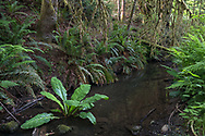 A Western Skunk Cabbage plant (Lysichiton americanus) growing in Duck Creek with Sword Ferns (Polystichum munitum) and Lady Ferns (Athyrium filix-femina). Photographed at Duck Creek Park on Salt Spring Island, British Columbia, Canada.