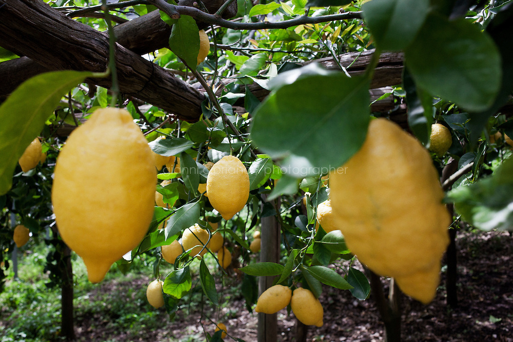 "AMALFI, ITALY - 29 APRIL 2013: Lemons are ready to be picked in the lemon field of Luigi Aceto (78), nicknamed Gigino, in Amalfi, Italy, on March 29th 2013...Mr. Aceto was born and raised in these lemon groves, where his family has been working for centuries, first as tenant farmers, then as landowners. In 1992, Luigi Aceto co-founded with his children the The Amalfi Citrus-Fruit Processing Co-operative, which initiated a campaign to increase awareness of their particular ""Amalfi Sfusato"" lemon, the quality and characteristics of which are unique in the world...Today, family businesses with fewer than 15 employees make up 90 percent of Italy's economy. The Acetos make a niche product ? world-famous lemons, prized for their low acidity and delicate flavor ? and like many small Italian businesses, they are reluctant to grow, preferring quality over quantity, tradition over expansion. Mr. Aceto wants the lemon groves and the business to stay in the family."