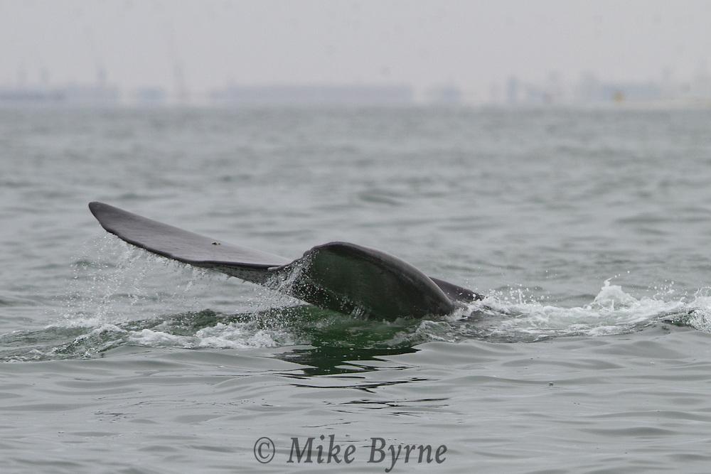Southern right whale (Eubalaena australis) in Walvis Bay, Namibia.