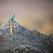 Colorful lizard, Ngorogoro Crater rim