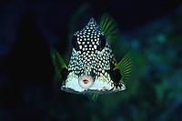 Honeycomb Trunkfish.