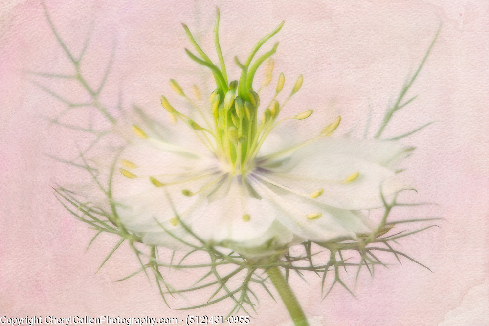 White Nigella flower