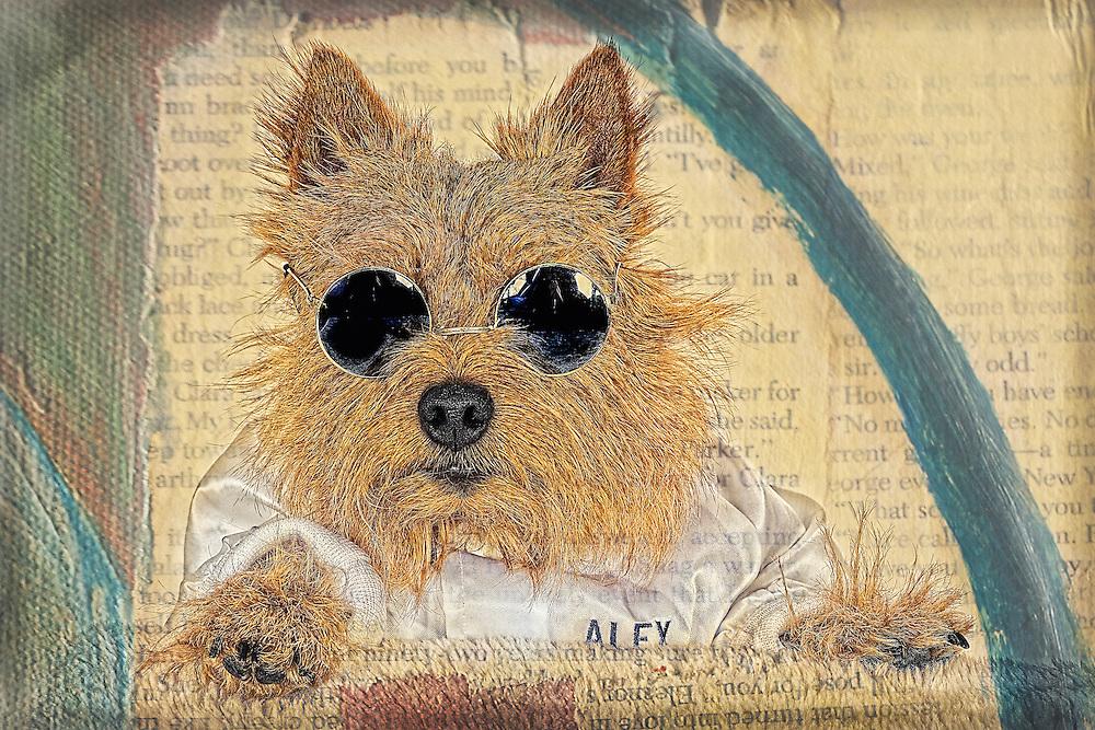 Norwich terrier in glasses