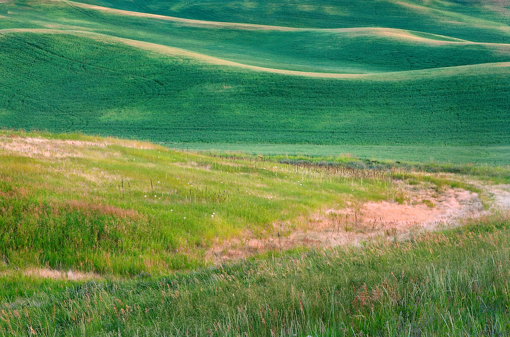 wild grasses and green spring wheat in the Palouse Hills of Washington State