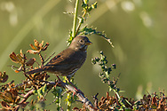 A sooty fox sparrow perches on a small branch, Redwood Shores, CA.