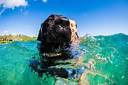 A woman swims with her black Labrador retriever pet dog, Kauai, Hawaii