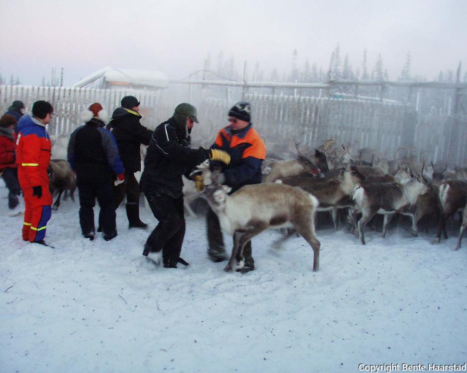 Nord-Trøndelag. Southsami reindeer herding in Mid-Norway. Slakting og skilling, Skjækerfjell reinbeitedistrikt (Skæhkere Sijte), Snåsa