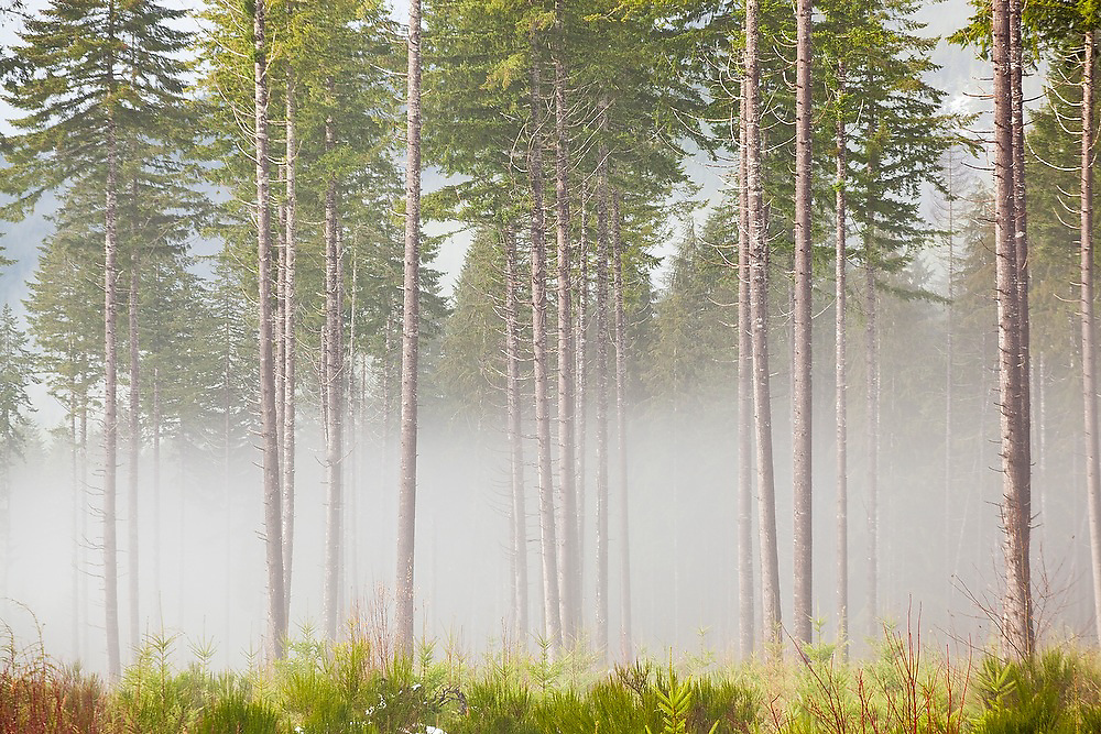 Tall pine trees on a misty morning in a thinned (by logging) forest on the Olympic Peninsula, Washington.