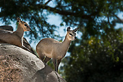 Klipspringers at the San Diego Zoo (a small African antelope)