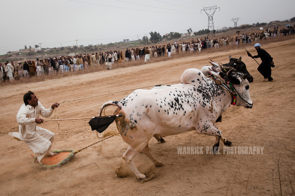RAWALPINDI, PAKISTAN - FEBRUARY 5: A jockey loses control of his bulls, at a bull racing event on February 5, 2011, in Rawalpindi, Pakistan. Bull racing takes place during the winter months throughout Pakistan where many come to watch or gamble on the contenders. (Photo by Warrick Page)
