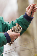 Westbrookville, New York - New York State Department of Environmental Conservation fish and wildlife technician Thomas Raffaldi holds an Eastern screech owl at the Bashakill Wildlife Management Area on April 23, 2013.