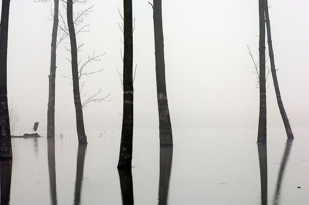 A great blue heron finds a perch on the back of the flooded Illinois River on a foggy Christmas morning. ©David Zalaznik