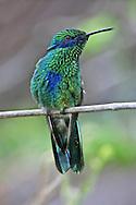 Hummingbird, Green Violet-Ear, Colibri thalassinus