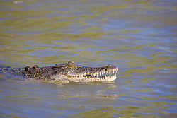 A saltwater crocodile (Crocodylus porosus) displays its teeth in the Prince Regent River. Salterwater crocodiles were hunted until the 1970s, but are now a protected species.