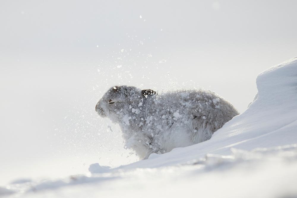 Mountain Hare (Lepus timidus) in white winter coat in snow, Scotland