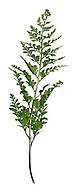 Black Spleenwort Asplenium trichomanes