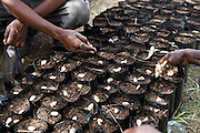 Cocoa beans being planted at a cocoa nursery in Ghana.