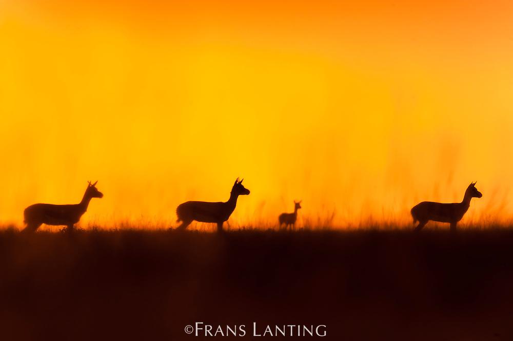 Thomson's gazelles at sunrise, Eudorcas thomsonii, Serengeti National Park, Tanzania