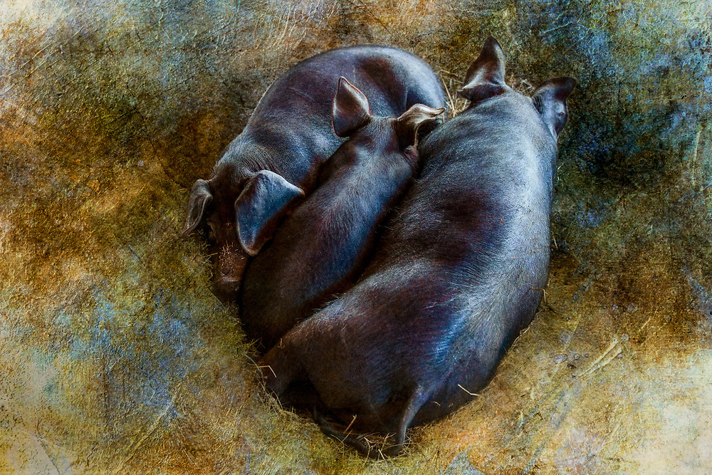 All Settled in for a Long Winter's Nap<br /> <br /> Available in 4 sizes: <br /> <br /> - Limited Edition: 12&quot;x 18&quot;, 16&quot; x 24&quot; and 20&quot; x 30&quot;, printed on archival quality fine art paper, signed, numbered and with a Certificate of Authenticity.*<br /> <br /> - Open Edition: 8&quot;x 10&quot; on archival quality fine art paper, signed and suitable for ready-made or custom frames.<br /> <br /> Once I have printed, inspected and signed the print, usually within 5 days of ordering, you will receive an email with tracking information. Shipping time may be up to an additional 5 business days, depending upon your location.<br /> <br /> * This image may also be available at larger sizes and printed on other substrates. Please contact me directly for more information.