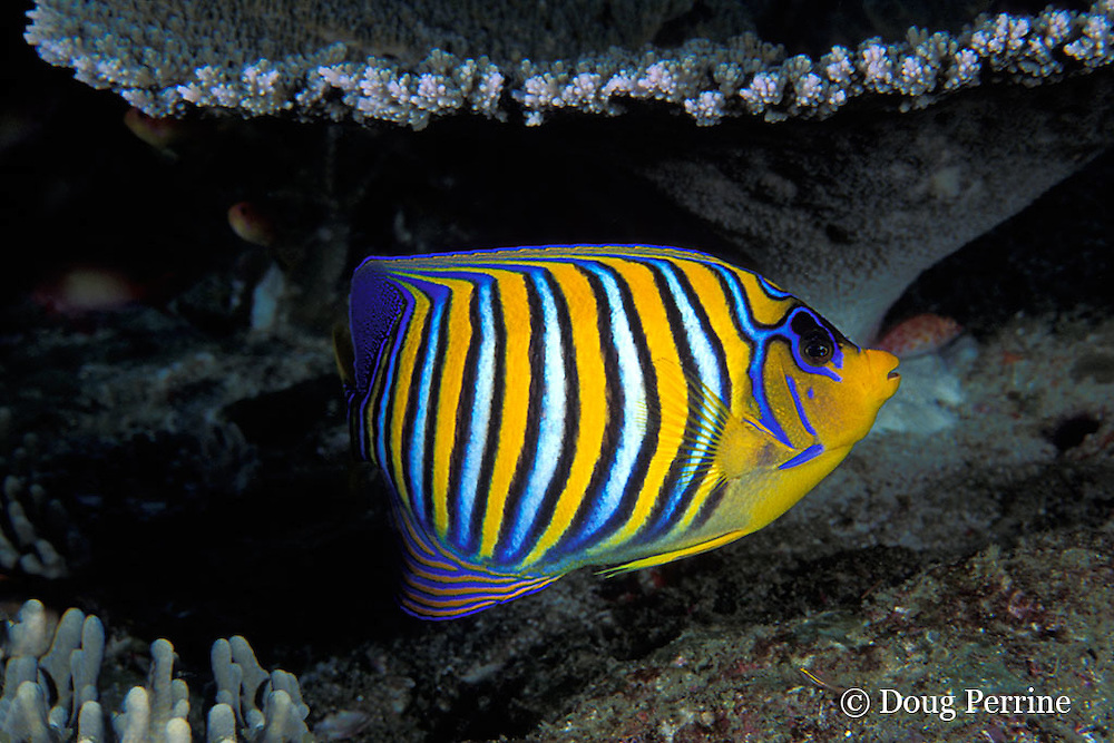 regal angelfish or royal angelfish, Pygoplites diacanthus, <br /> Thailand ( Indian Ocean )