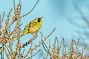 Common Yellowthroat - Geothlypis trichas sitting on a branch